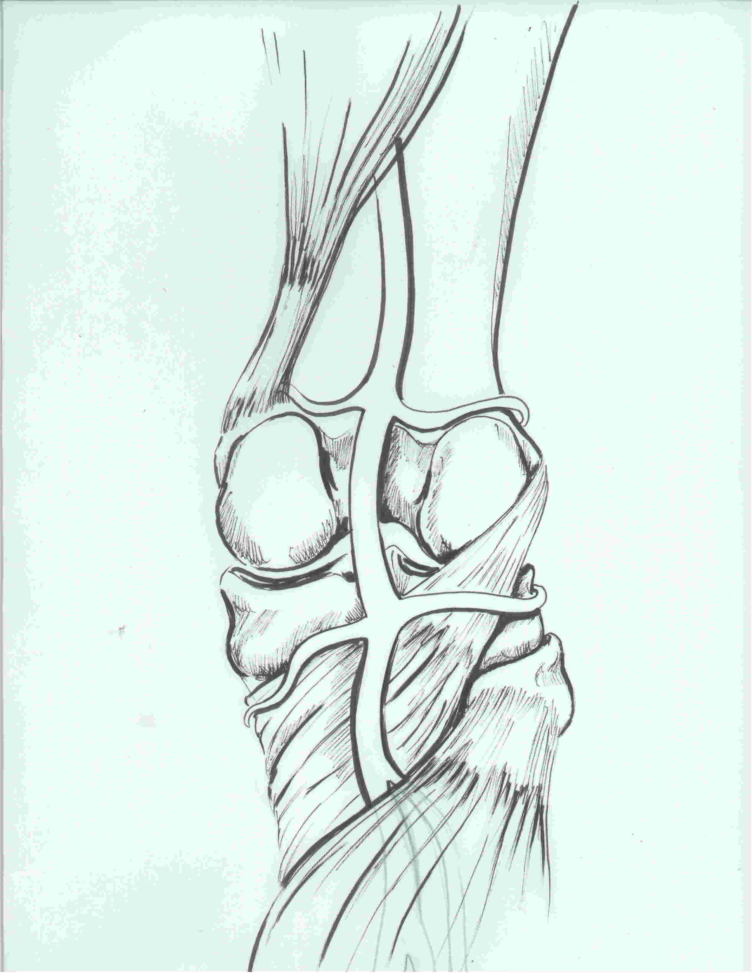 Popliteal arterty illustration